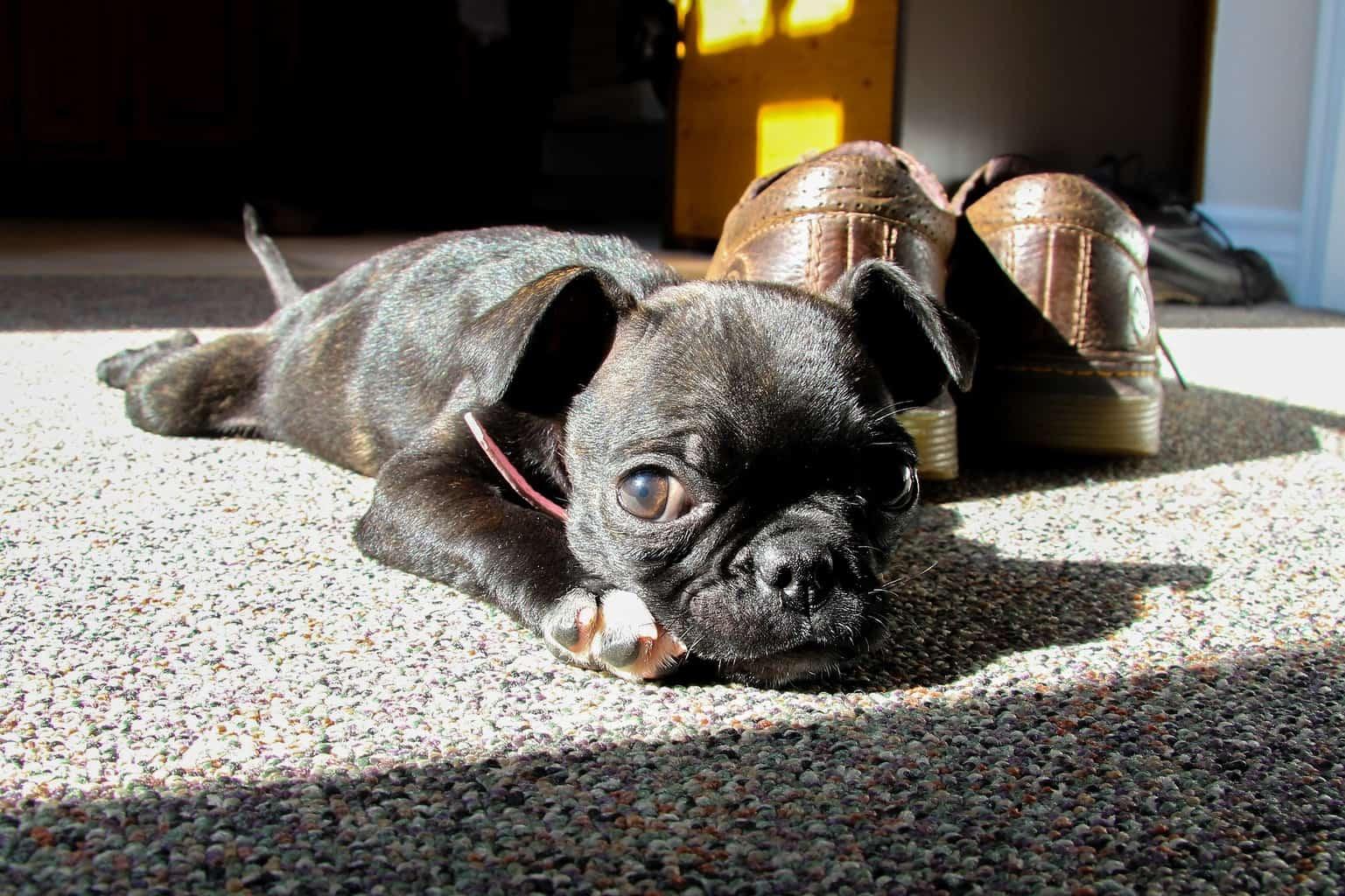 Black Boston Terrier