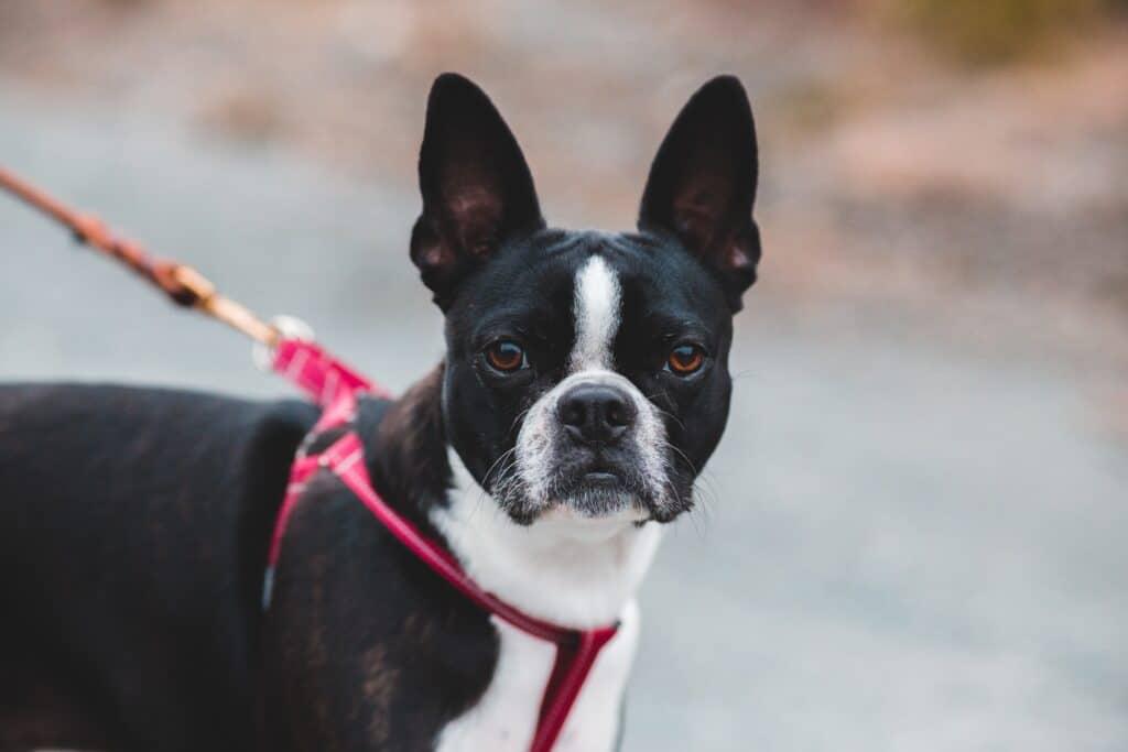 Boston Terrier on a walk