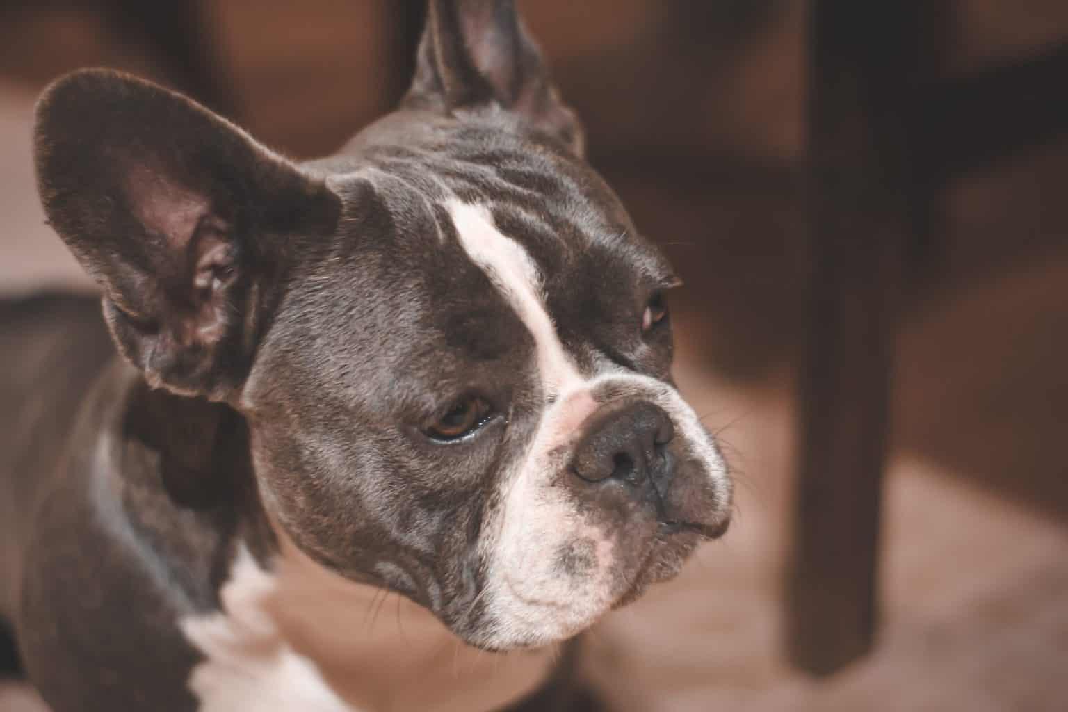 Boston Bulldog