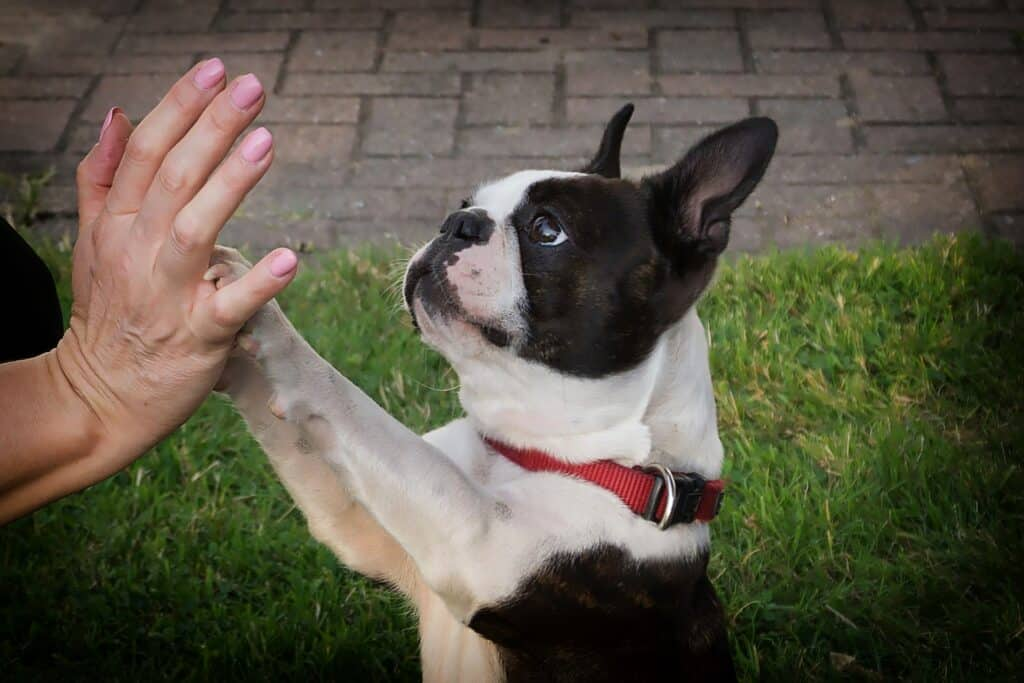Boston Terrier giving a high five to its owner