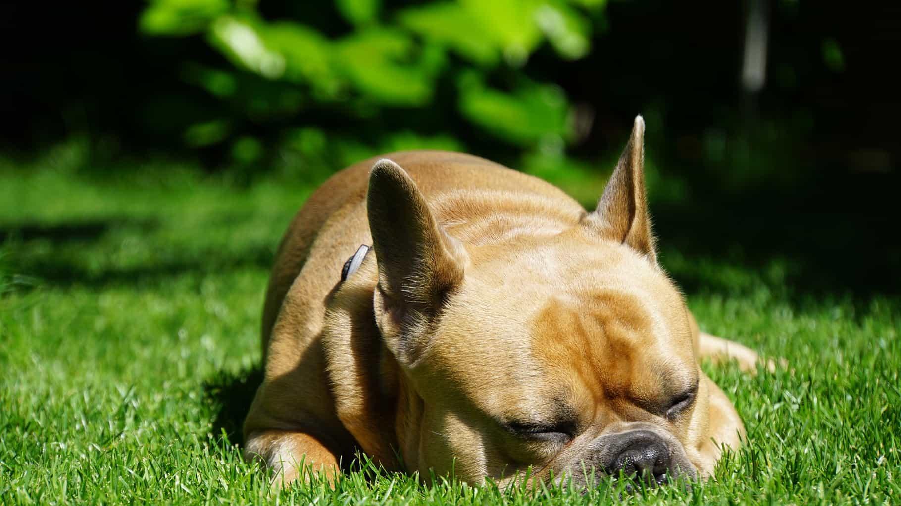 French Bulldog lying in grass
