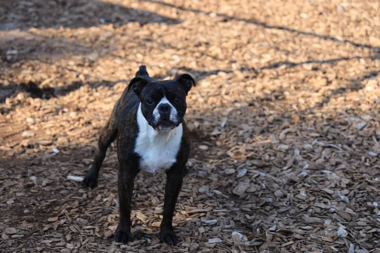 Long haired Boston Terrier outdoors