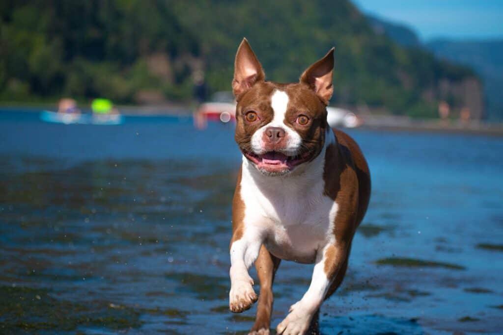 Boston Terrier running on a beach