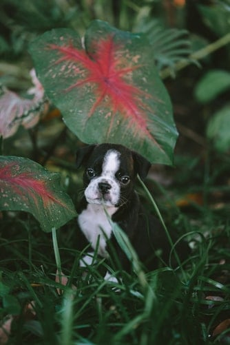 Boston Terrier sitting outdoors