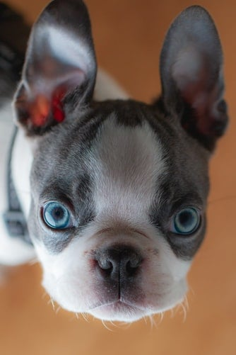 Blue eyed Boston Terrier