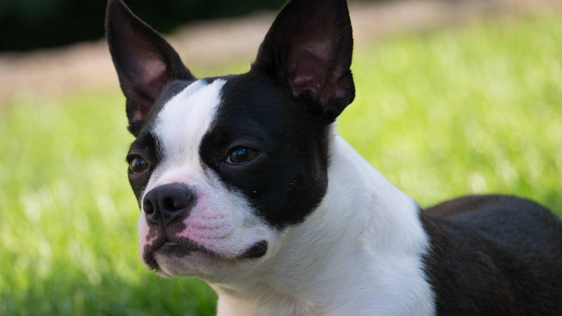 puppy boston terrier side view