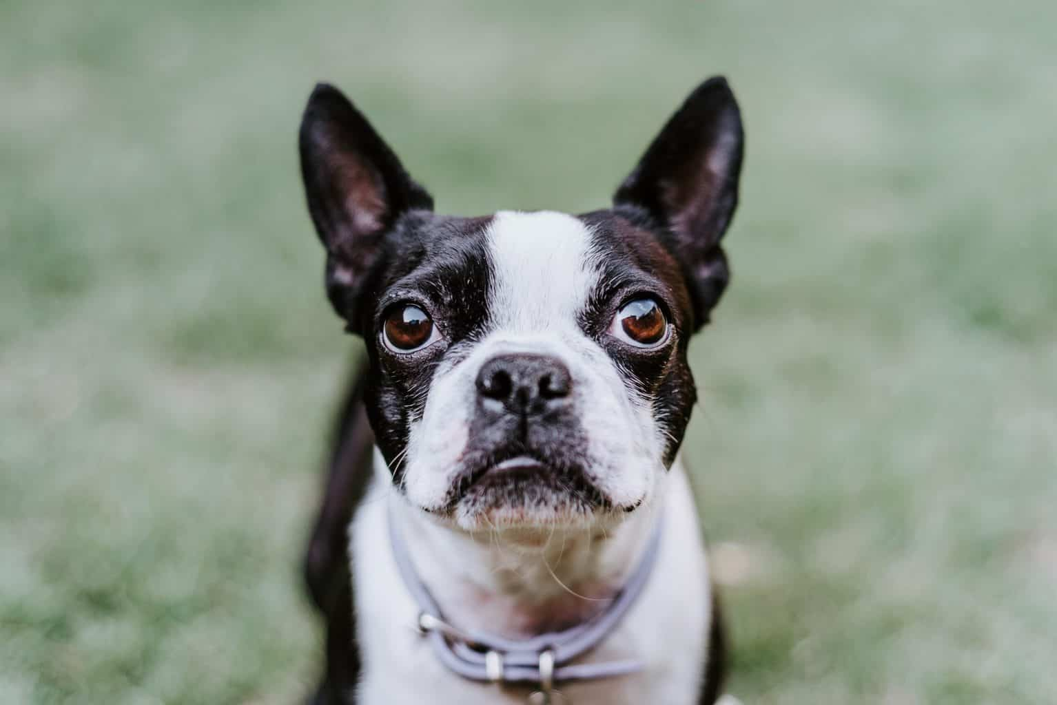 close up front shot of a boston terrier puppy