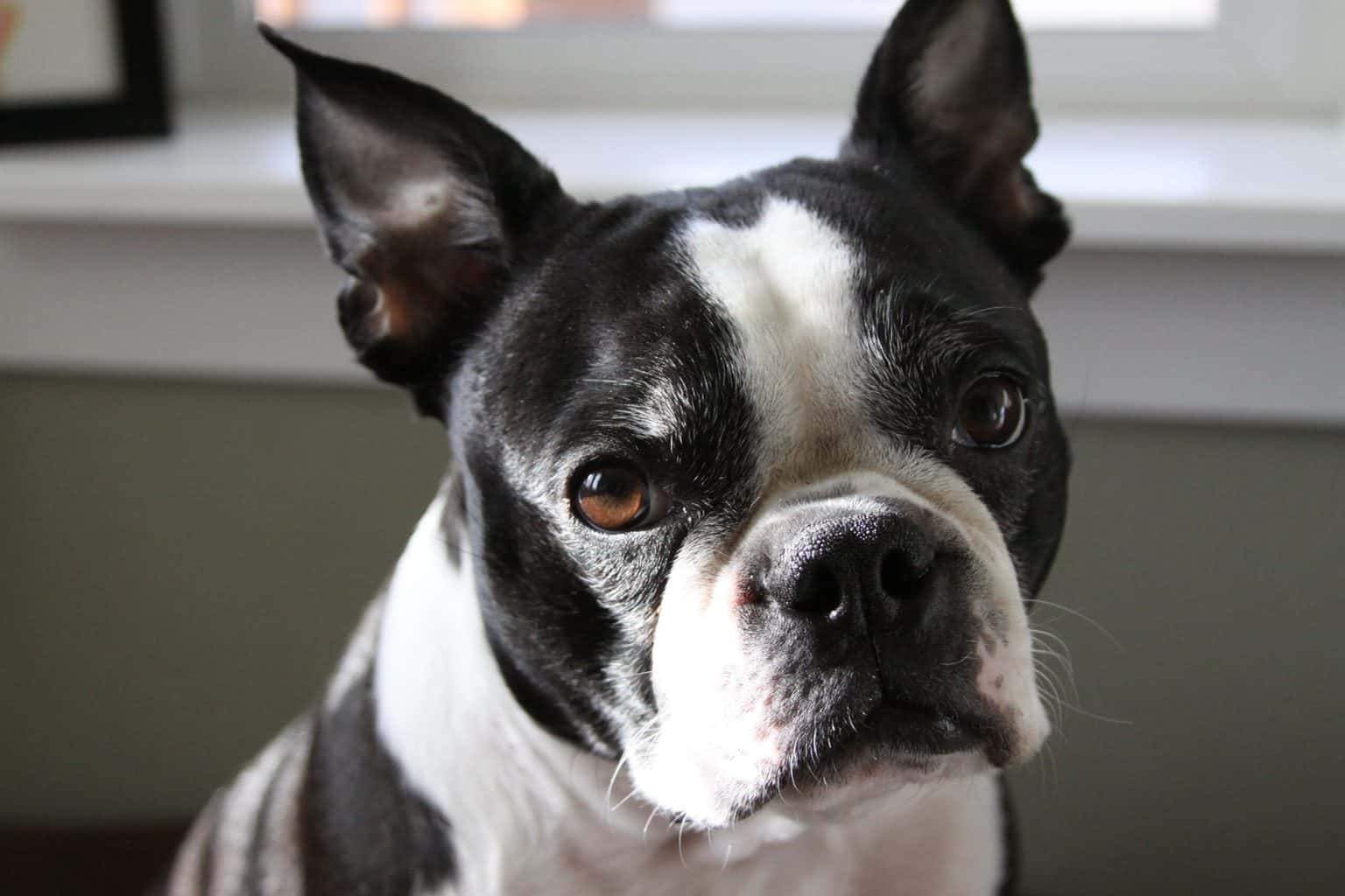 Close up shot of Boston Terrier