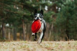 An adult Boston Terrier dog carrying a red frisbee with its mouth