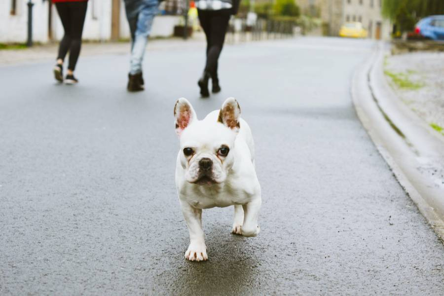 A white Boston Terrier walking along the street