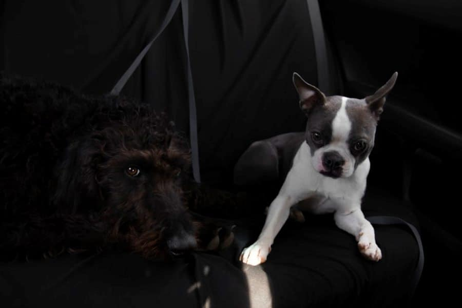 Boston Terrier puppy and another dog in the backseat of a car