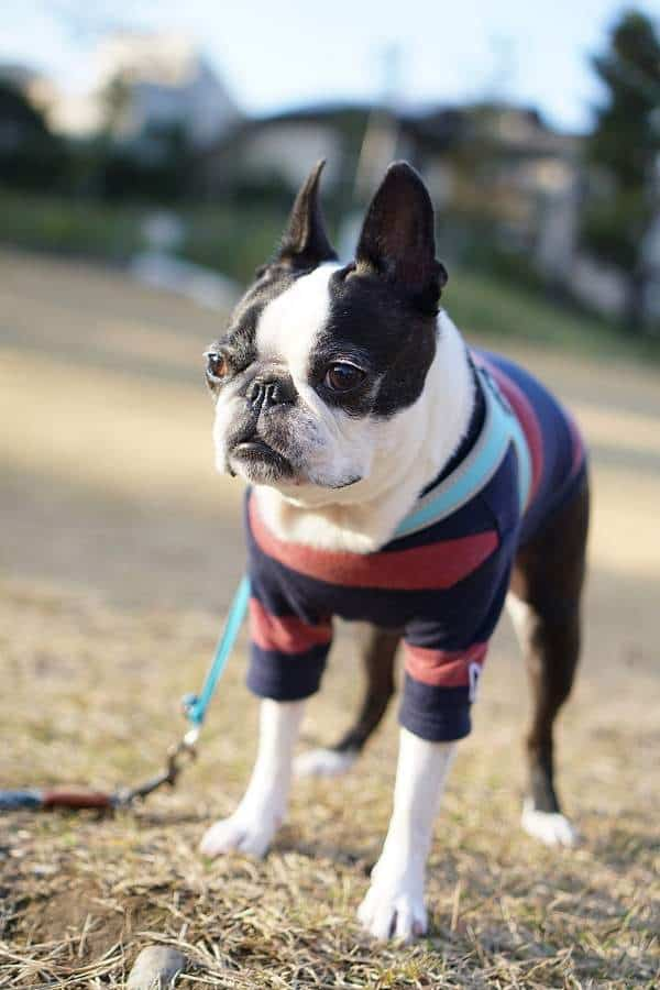 Boston terrier with a harness terrier wearing striped clothing
