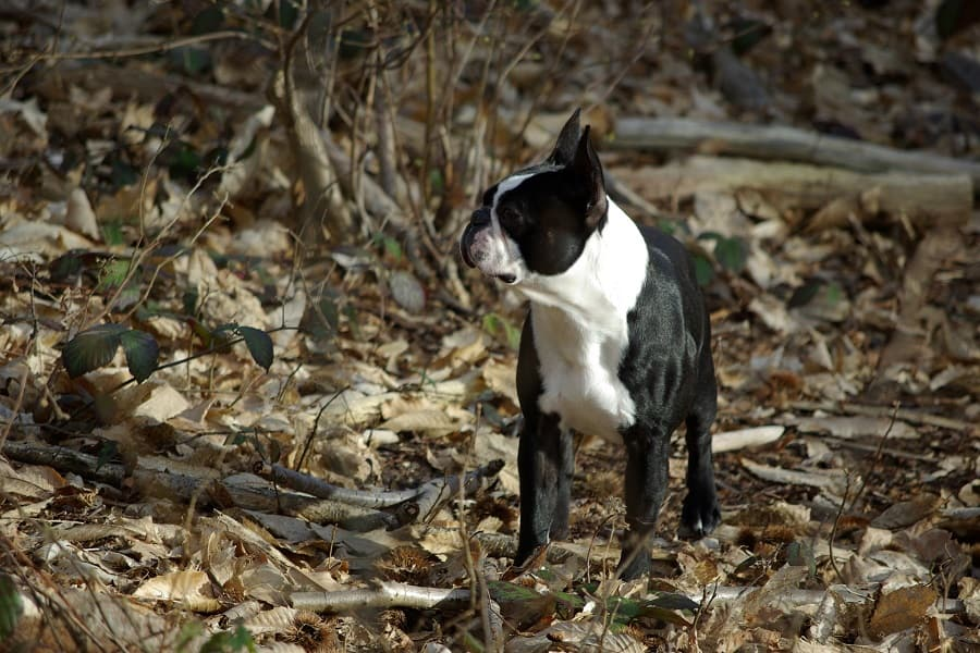 Boston terrier in the middle of a forest