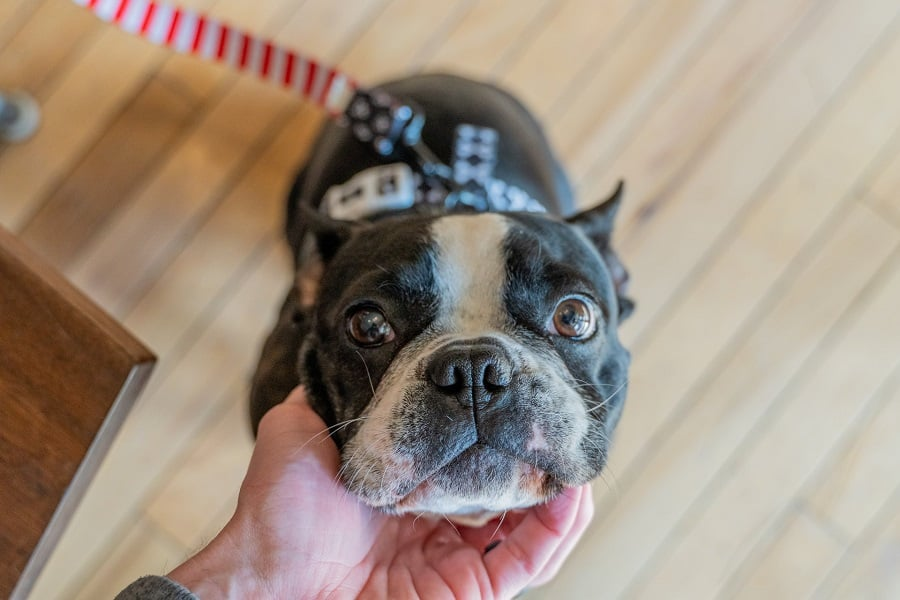 Person touching a Boston terrier's chin