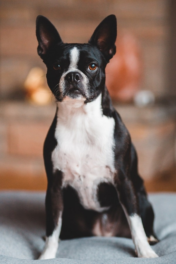 Boston terrier on a dog bed