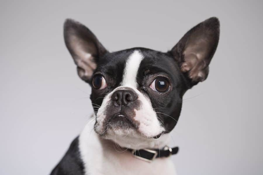 Boston Terrier in need of treatment for his Cherry Eye