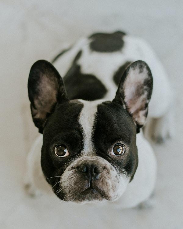 Selective focus of Boston terrier head looking up