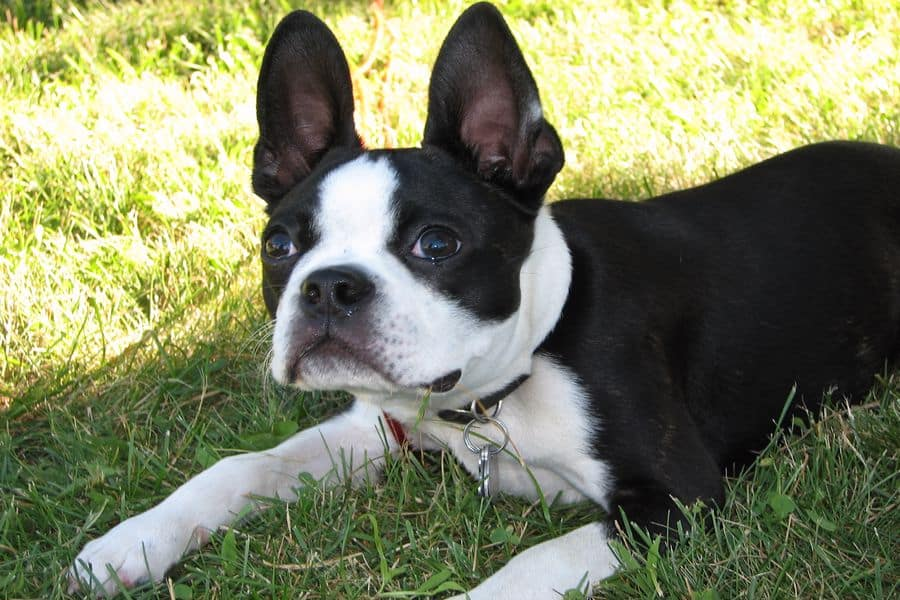 Boston Terrier sitting on the grass