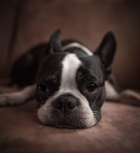 Sleepy Boston Terrier