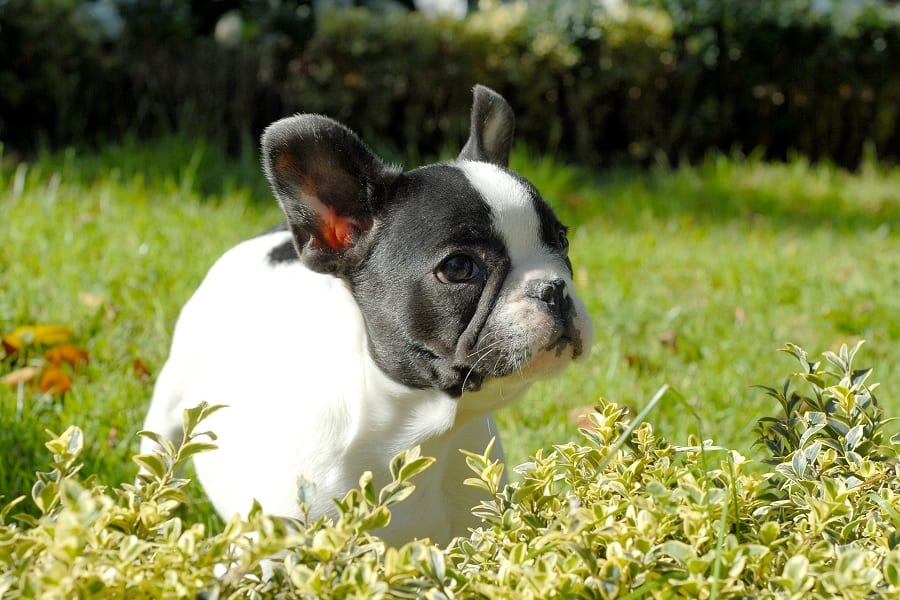 Boston terrier puppy surrounded by plants and grass