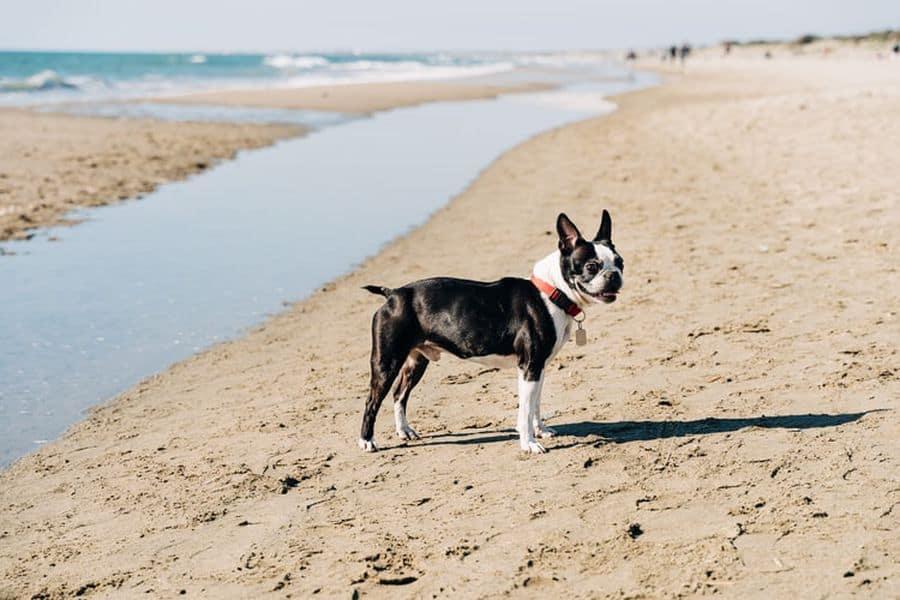 Boston Terrier in the beach