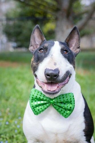 Bull terrier wearing a green bow tie