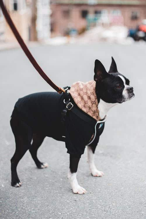 Boston Terrier out for a walk