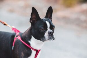 Boston Terrier wearing a red harness