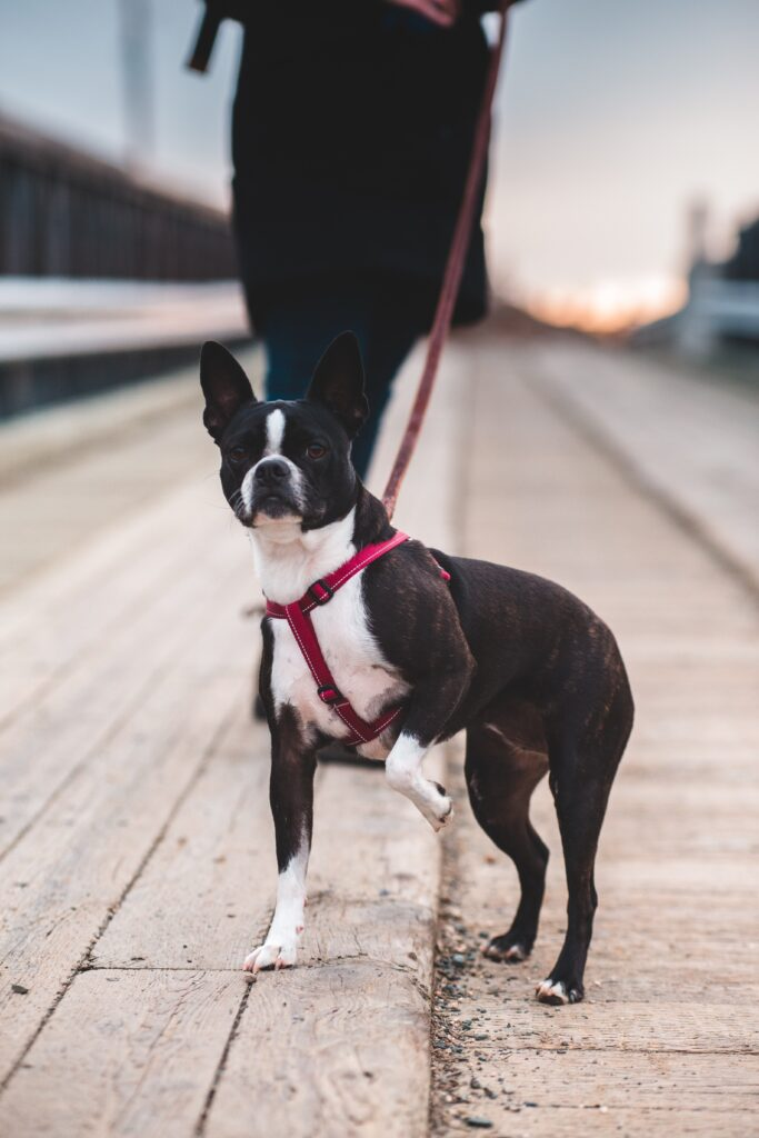 A boston terrier walking outdoors with read leash