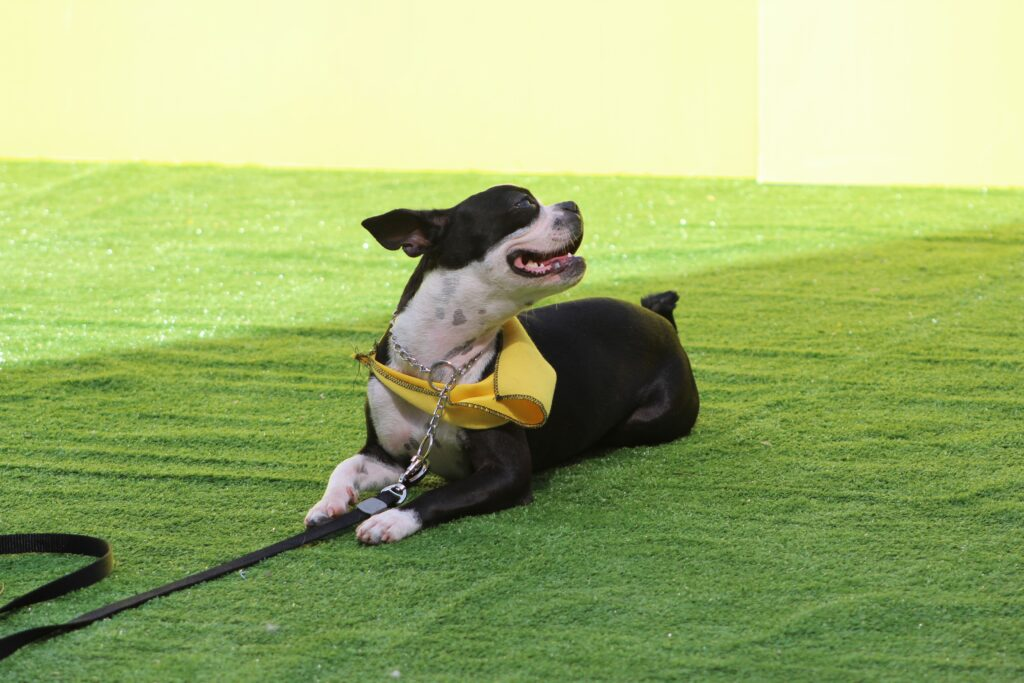 Boston terrier outdoors with mouth open