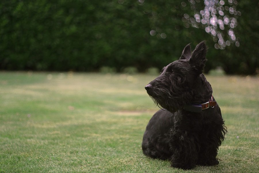 A black Scottish terrier with head facing to the side