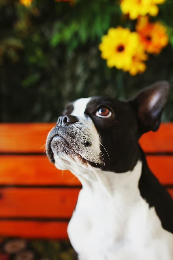 Selective focus of a Boston terrier in a garden