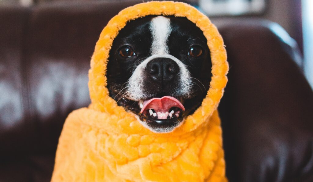 A Boston Terrier wrapped with a yellow cloth