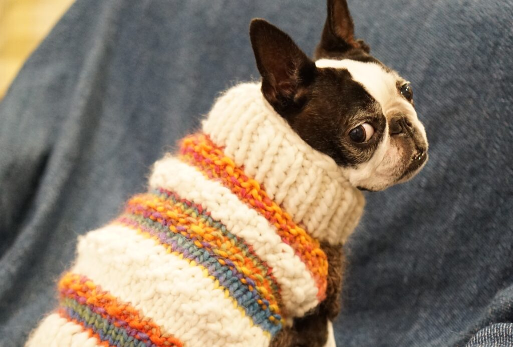 A Boston Terrier wearing knitted clothes