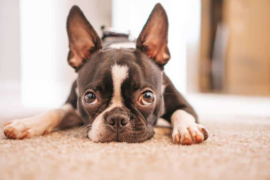 Boston terrier lying on a carpet