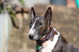 Adult Bull Terrier