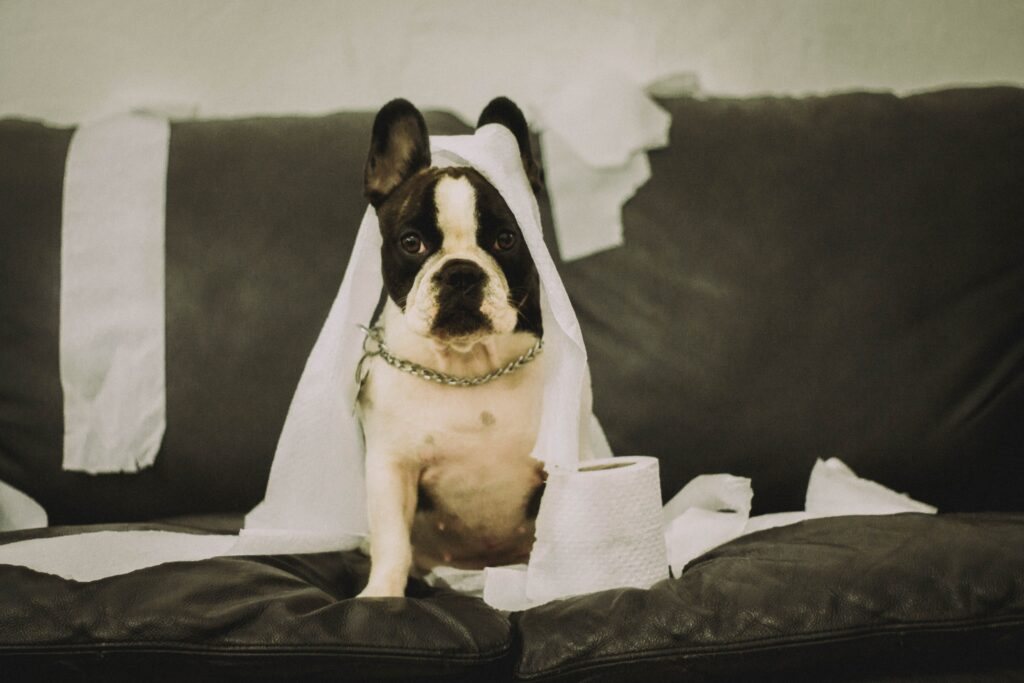 A Boston Terrier with messy tissue paper on the sofa