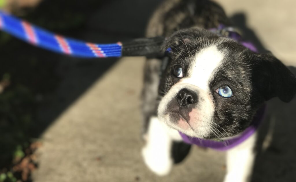 A Boston Terrier looking up while out for a walk