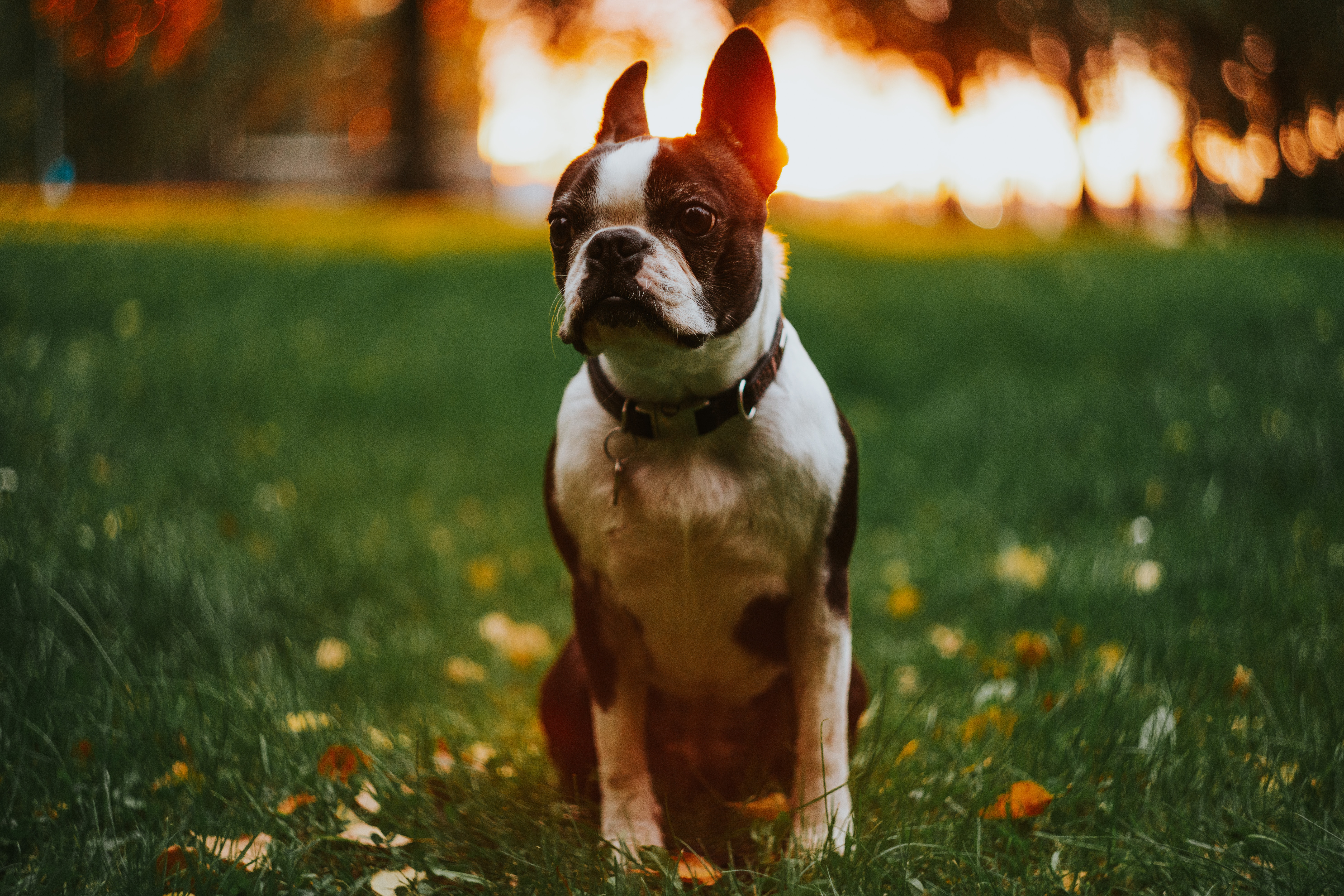 A Boston Terrier sitting outdoors with a bright background