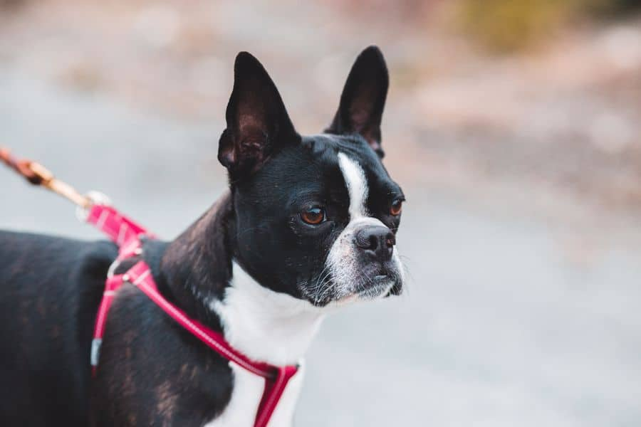 Boston Terrier with a red leash