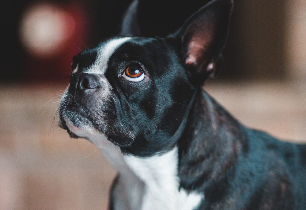 A side view of a Boston Terrier looking up