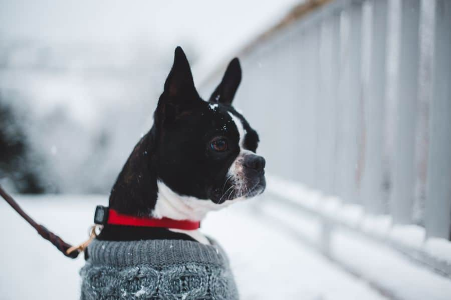 Boston Terrier in the snow