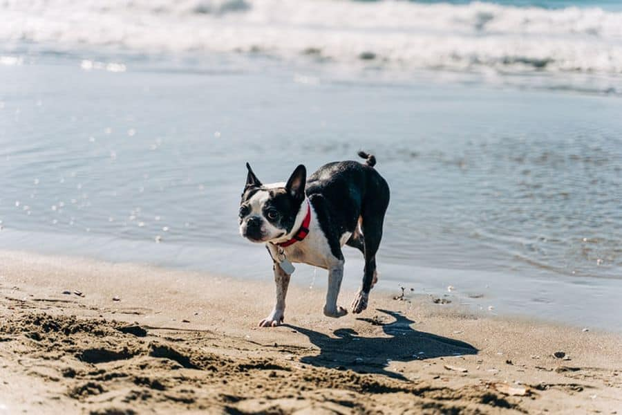 Boston Terrier playing in the beach