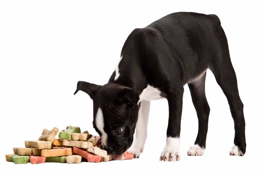 Boston Terrier sniffing a pile of treats