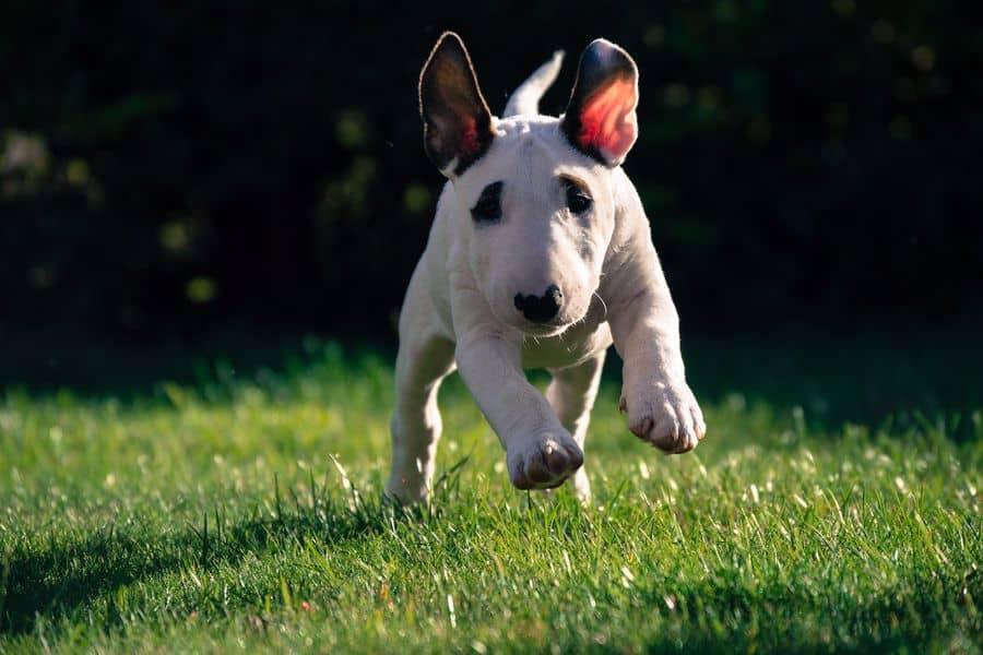 Bull Terrier puppy walking in a lawn