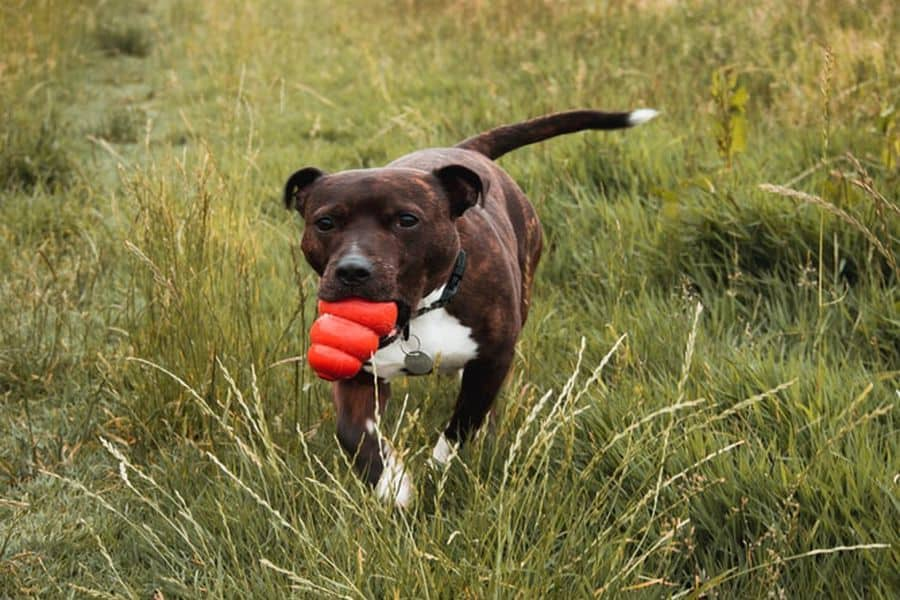 Staffordshire Bull Terrier carrying a toy with its mouth
