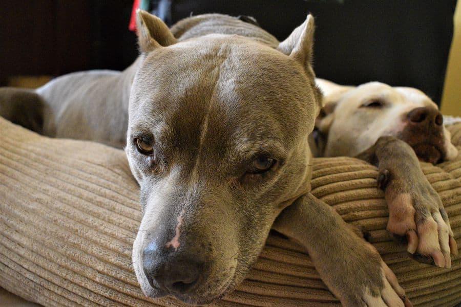 Pit Bull Terrier looking sad