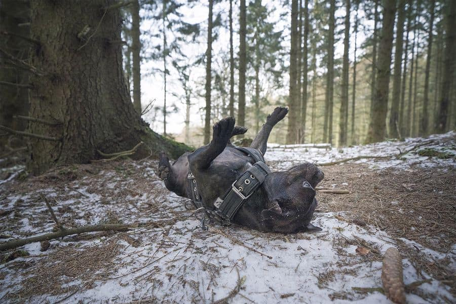 Staffordshire Bull Terrier lying on his back on forest grounds