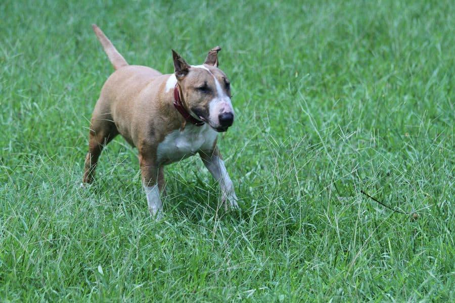 Bull Terrier in a grass field