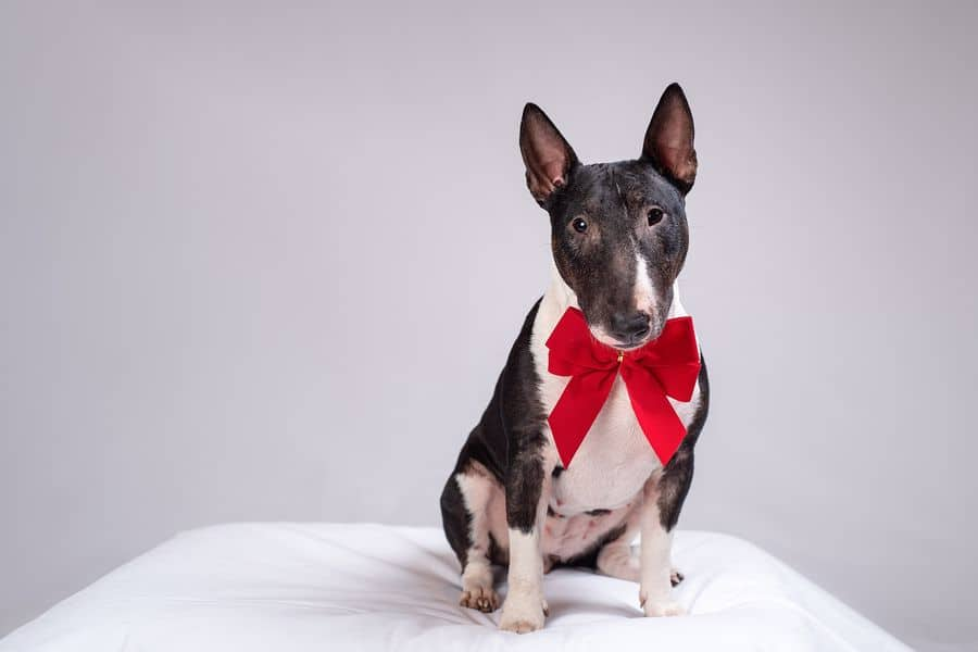 Bull Terrier wearing a red ribbon on its neck